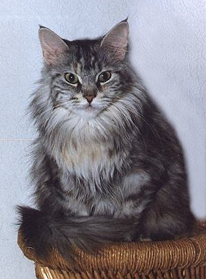 HussyCherry the Fabulous, Maine Coon